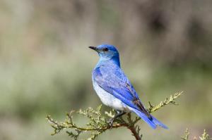 Bluebird Man 3